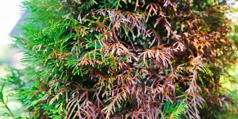 One of the most common questions we get asked about conifers is, why are my conifers turning brown? Pest, diseases and incorrectly pruning can all be a cause. Learn how to to identify the cause and how to precent it.