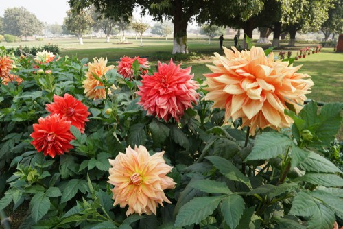 Dahlias are a beautiful summer flower but winter is not their favorite season. They need to be taken out of colder gardens where frost may be hard in freeze deeper than there first few inches of soil and stored over winter. If you leave them in the garden and you have a period of very cold region freezing temperatures will actually kill them.