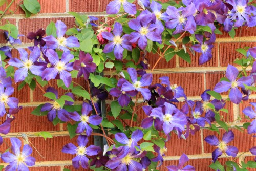 When you are ready it's time to train the climbers you have. This is something you will have to do regularly as the plant is gaining maturity but once it establishes itself and has a fixed itself to the structure you've selected you won't have to do as much maintenance except for general pruning, usually to keep it within the framework and promote flowering.