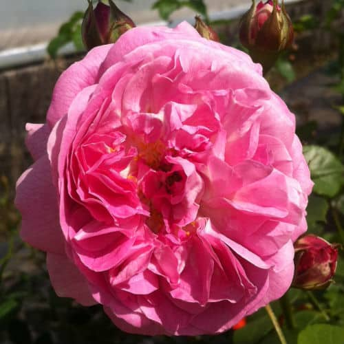 This is a fragrant miniature climbing rose that produces semi-double, pink flowers and can grow up to 2.5m tall and wide. This is better suited for large containers and as a hybrid it is much more tolerant of shade than other roses. As a result, it is a better climber for pots in back gardens, on porches, or decks that may not get daily sunlight.