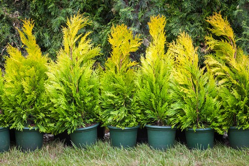 Pot grown conifers ready to be planted on spring