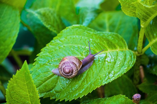 Everybody knows what slugs and snails are and thankfully they are not to much of a problem with hydrangeas. However young foliage is most at risk and they can be problem sometimes. The best to treat is to simply put down some slug and snail pellets.