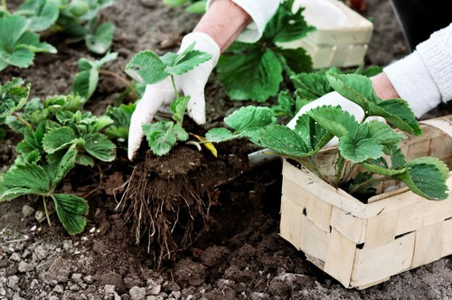 Strawberries will grow best if they are given sunny conditions with shelter against strong winds. They also prefer having well-drained soil that remains moist.