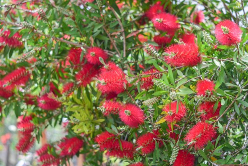 Callistemon citrinus - ideal for beds, borders and even in pots