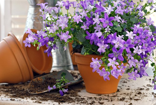 Bellflowers are great for containers especially if you live in an area that has a cool summer temperature on average. The nice part about bellflowers is that you can find herbaceous, annual, or perennial version.