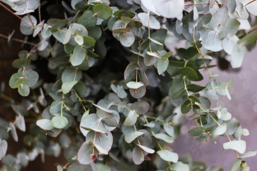 Referred to as the cider gum, this evergreen tree is one of the fastest growing eucalyptus trees out there and it takes on an upright, cone shape with a dense canopy of leaves.