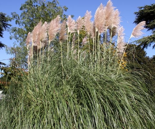 The most common varieties such as pampas grass 'Patagonia' grow to 8ft but what most people don't realise is you can get dwarf varieties that grow to around 1 to 1.5 meter tall such as pampas grass 'Pumila'.
