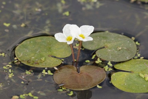 A flowering plant, this freely floating pond plant is an annual pond plant that can reach 20cm in length.
