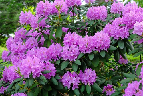 If you have a flourishing rhododendron you may need to consider pruning for a variety of reasons be it maintenance, rejuvenation or shaping your plant. With a rhododendron, pruning is very simple no matter the reason for it and you can create a shrub with abundant flowers, foliage, and dense branches all of which contribute to a wonderful garden. The first thing we would point out is that Rhododendrons don't require regular pruning and can go years without needing to be pruned with the exception of removing any damaged or diseased branches.