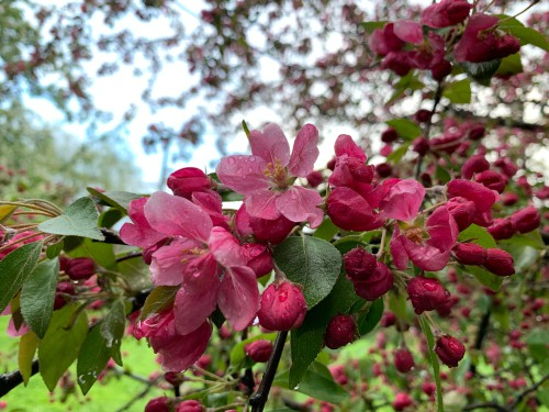 Crab apples are trees that have gained popularity because of the abundance of rich flowers early in the season. It's an upright deciduous tree and when it grows it takes on a rounded, spreading shape that eventually produces an onslaught of blooms which they are famous for.
