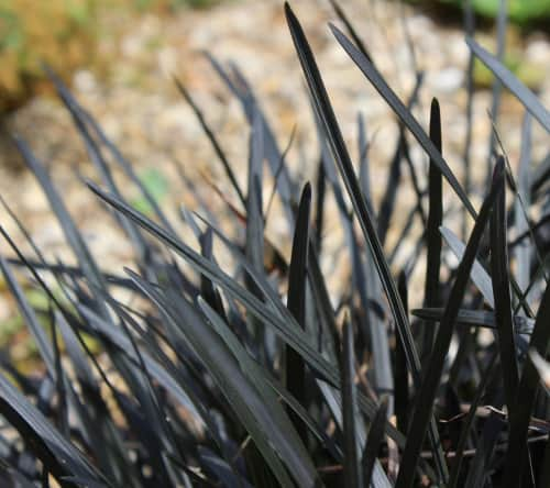 Give your garden something different with mondo grass, a black perennial grass with foliage that will stand apart against a backdrop of otherwise green/yellow colours in your garden. When grown in sunny locations it will produce rich, black foliage and light pink flowers in summer which are a feature in themselves.