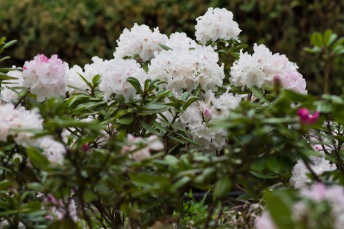 When to take rhododendron cutting - When you are taking a rhododendron cutting you want to do so sometime between the end of July and the middle of August, especially during the warmer summer months.