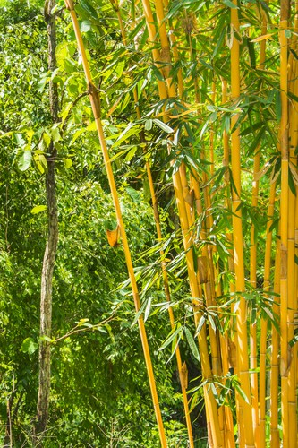 When it comes time to plant your bamboo you want to begin by adding the rocks or gravel about 10 cm worse to the bottom of your container. This will not only help improve drainage as mentions but it can keep the base of your container heavy enough to prevent your plant from blowing over.