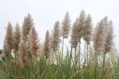 When you are considering pruning your pampas grass, it should be done in winter, ideally, January or February or early spring before the new shoots start shooting when the weather starts to warm a little. You don't want to do it in the summer or you can damage the plant and promote new flowering spikes that will late produce the stunning flowers which you want to avoid.