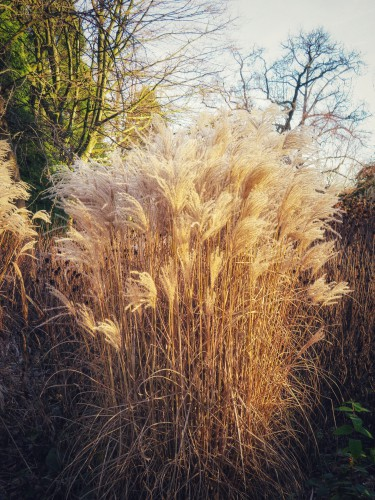 We don't recommend pruning right to the centre of pampas grass, especially with very large plants. The aim is to trim out any dead leaves once a year and maybe remove some of the older stems to make room for new growth if you think it's needed.