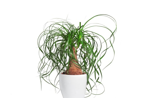 The ponytail palm gets its name from the many long, slender green leaves that fan out like thin hair in a ponytail.