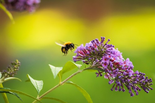 There are many plants that bees like, but the butterfly bush is particularly stunning. Butterfly bushes have been commonly referred to as butterfly bushes because they are known to attract masses of butterflies but they also attract bees too.
