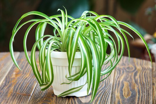 Many beginners cultivate spider plants because of how tolerant they are, but more importantly, they will clean the air you breathe.