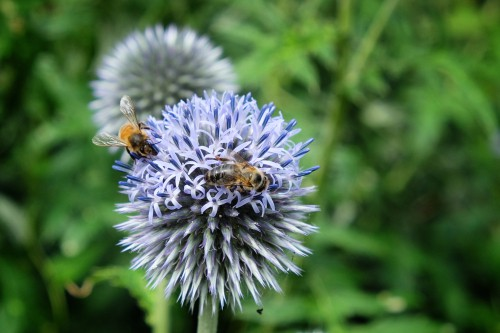 Echinops bannaticus is Part of the Aster family, the bee attracting flowers from the globe thistle is unlike any other on this list. As the name suggests, they take on a rounded or globe shape.