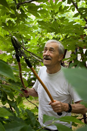Fig tree pruning - prune any unwanted shoots in early spring leaving on the main fruiting stems.