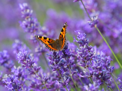Lavender is effective at bringing things like bees to your garden but it would bring ample butterflies especially when the whorls of tiny flowers show up in summer.