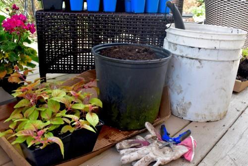 Take hardwood cutting in autumn to propagate cutting from Fuchsias