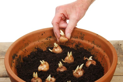 planting bulbs in pots