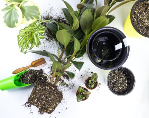 Planting rubber tree plants should be done with consideration to how large the plant will be at full maturity. It is best to afford adequate space so that you don't have to re-pot down the line too often.