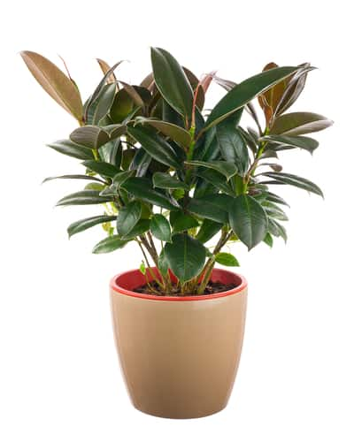When to prune rubber tree plants. Rubber plants are very resilient and you can give it a good trim at any time during the year.