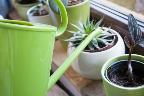 Caring for Aloe Vera plants