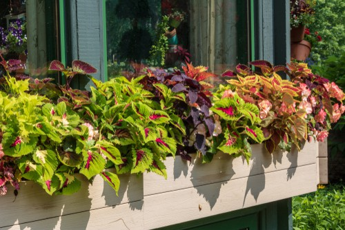 Coleus planted in window box