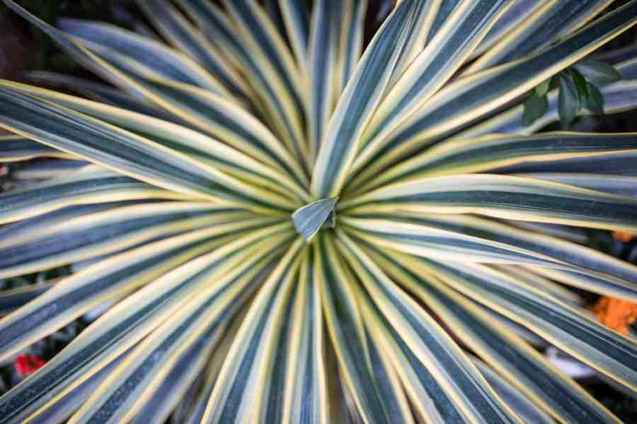 Cordyline Australis Torbay Dazzler which has green leaves boasting a creamy stripe up the centre that can reach up to 60cm in length. This plant like the one above will reach an ultimate height around four metres