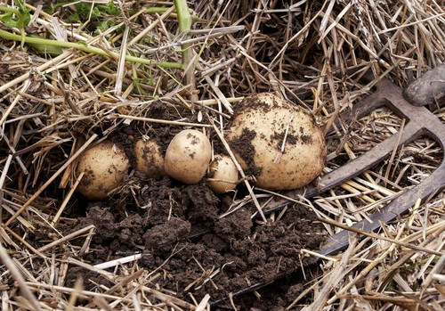 When growing seed potatoes outdoors for Christmas, cover with straw when the foliage dies back to protect the potatoes from frost