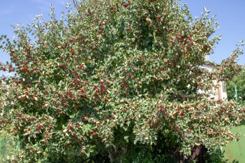 Crataegus monogyna (Hawthorn) . Ideal for attracting birds into your garden