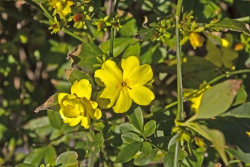 how to prune jasminium