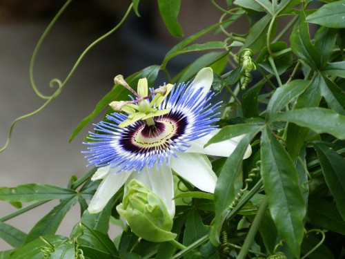 Training a newly planted passion flower