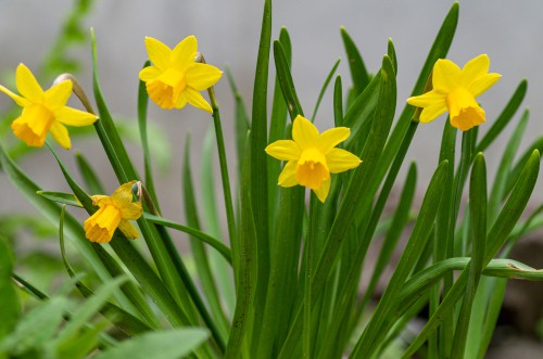 Miniature daffodils for window boxes