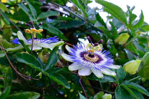 Passiflora caerulea produces the quintessential white and blue flowers and is the most popular and one of the hardier evergreen varieties and probably the most common variety in the Uk.