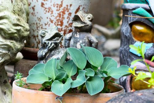 Planting a hosta in a pot