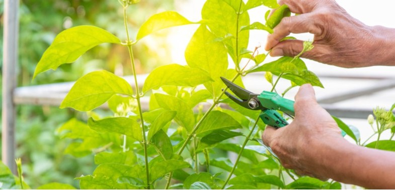 Pruning Jasmine – How to prune Jasminum