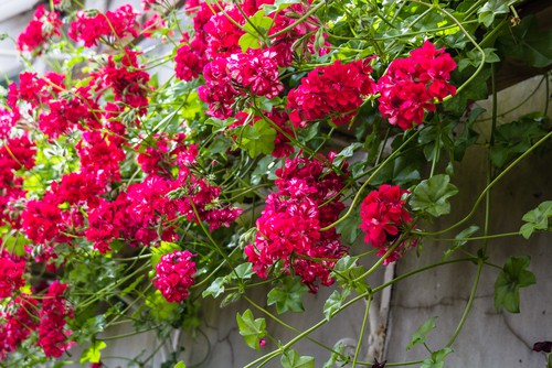 Trailing geraniums are perfect hanging basket and have beautiful foliage and flowers and come in a range of colours from scarlet red to pink and white. What's more, they do well in sunny locations and are fairly drought tolerant.