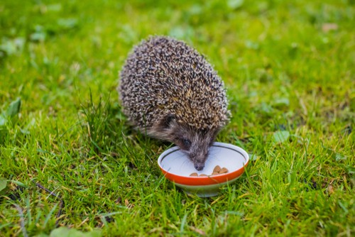 What can hedgehogs eat - specially made hedgehog biscuits, cat and dog food but not fish, nuts, seeds and meal worms in smaller quantities