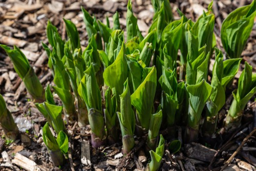 when and how to divide a hosta plant