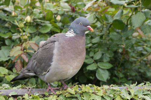 How big of a problem are wood pigeons?