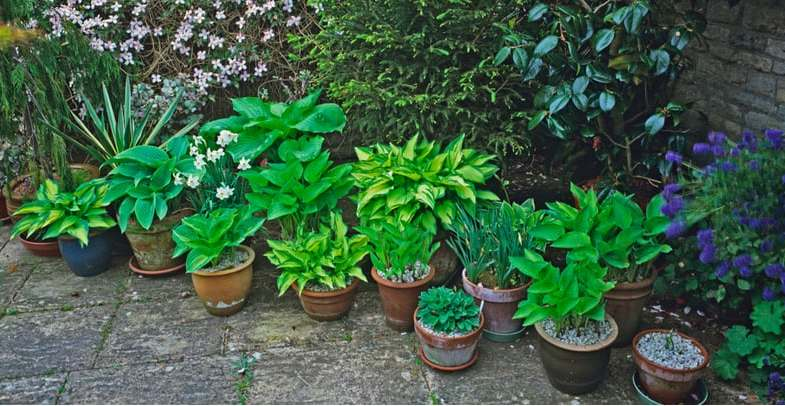 Planting and growing hostas in pots or containers