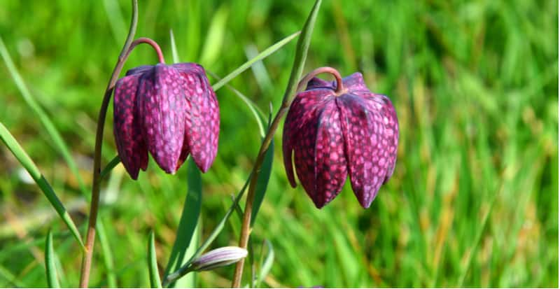 How to grow fritillaries from planting bulbs to general care