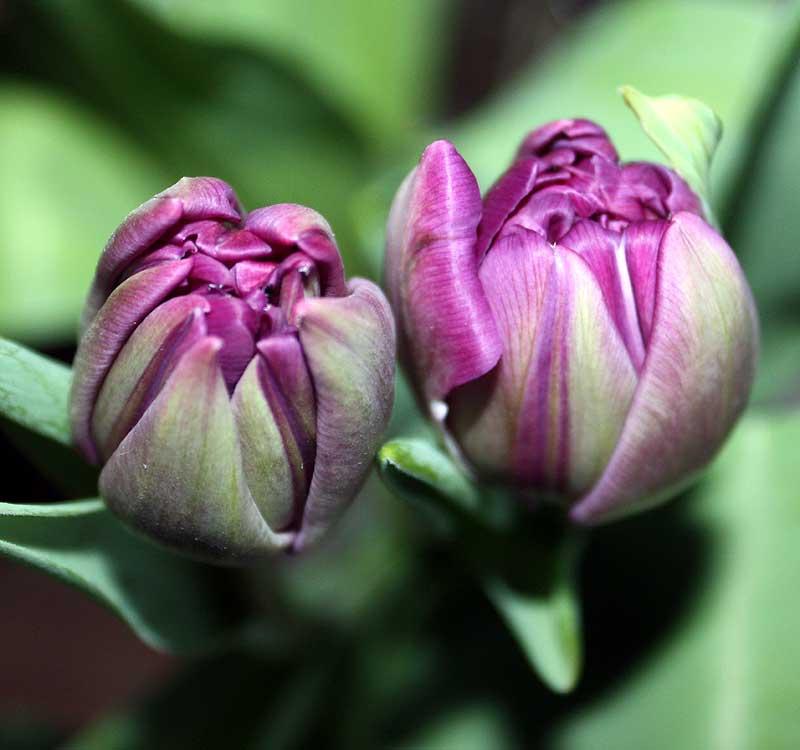 18. März: Tulpen aus dem Laden - Farbtupfer gegen den Dauerschnee.