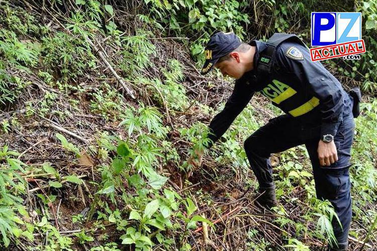 Fuerza Pública destruye plantación de Marihuana en San Pedro de Pérez Zeledón.