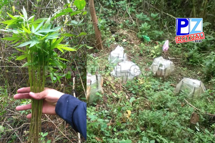 Fuerza Pública ubica vivero de plantas de marihuana en Pérez Zeledón.