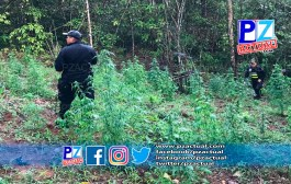 Fuerza Pública ubica plantío de marihuana en Pérez Zeledón.